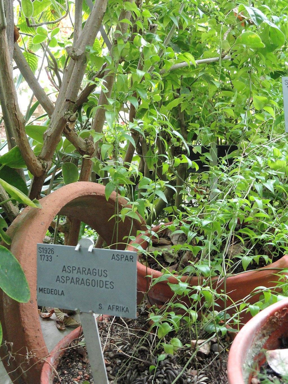 Asparagus asparagoides - Copenhagen Botanical Garden - DSC08018