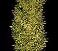 Asparagus densiflorus 10.jpg