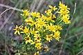 Asterales - Jacobaea vulgaris - 2.jpg