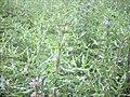 Astercantha longifolia വയൽ ചുള്ളി.jpg