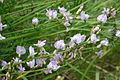 Astragalus austriacus (Österreich-Tragant) IMG 9344.JPG