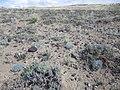 Astragalus hyalinus — Matt Lavin 003.jpg