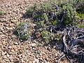 Astragalus platytropis (3848701055).jpg