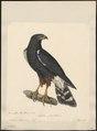 Astur leucorrhous - 1824-1839 - Print - Iconographia Zoologica - Special Collections University of Amsterdam - UBA01 IZ18300047.tif
