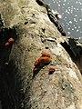 Auricularia auricula-judae 103158841.jpg