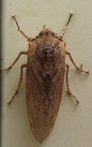 Tettigarctidae - Tettigarcta crinita specimen in the Australian Museum
