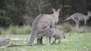 File:Australian Wildlife- Mating Kangaroos.webm