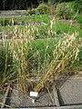 Avena nuda - Oslo botanical garden - IMG 8897.jpg