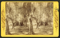 Avenue of olive trees, near Fernandina, Fla, from Robert N. Dennis collection of stereoscopic views.png