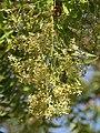 Azadirachta indica - Neem at Tenkasi 2014 (15).jpg