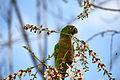 Aztec Parakeet (Aratinga astec) -Guatemala-8.jpg