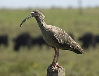 Plumbeous ibis species of bird