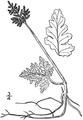 BB-0011 Botrychium matricariae.png