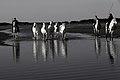 BH5U2033 chevaux de Camargue dans les marais, menés par les manadiers.jpg