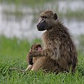 Baboons, Chobe National Park, Botswana (25081220428).jpg