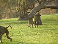 Baboons on the lawn - panoramio (1).jpg