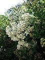 Baccharis halimifolia 1c.JPG