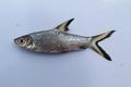 Balantiocheilos melanopterus 2.png