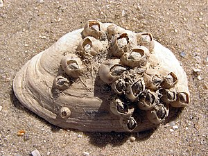Balanus improvisus on Mya arenaria shell