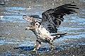 Bald Eagle (subadult) (43549254761).jpg
