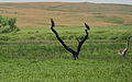 Bald Eagle Fledglings Lacreek NWR 2 (12824645424).jpg
