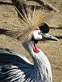 Balearica pavonina (crowned crane).jpg