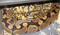 Ball Python Mating.png