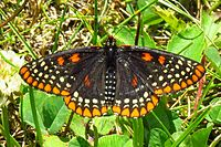 Baltimore Checkerspot, Shirleys Bay.jpg