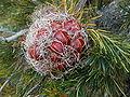 Banksia sphaerocarpa foll.JPG