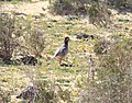 Barbary Partridge Fuerteventura (3302702305).jpg