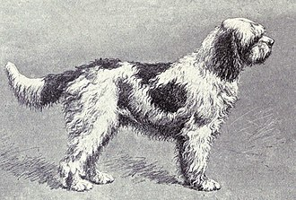 Water dog - The Barbet, one of the oldest breeds of water dogs.
