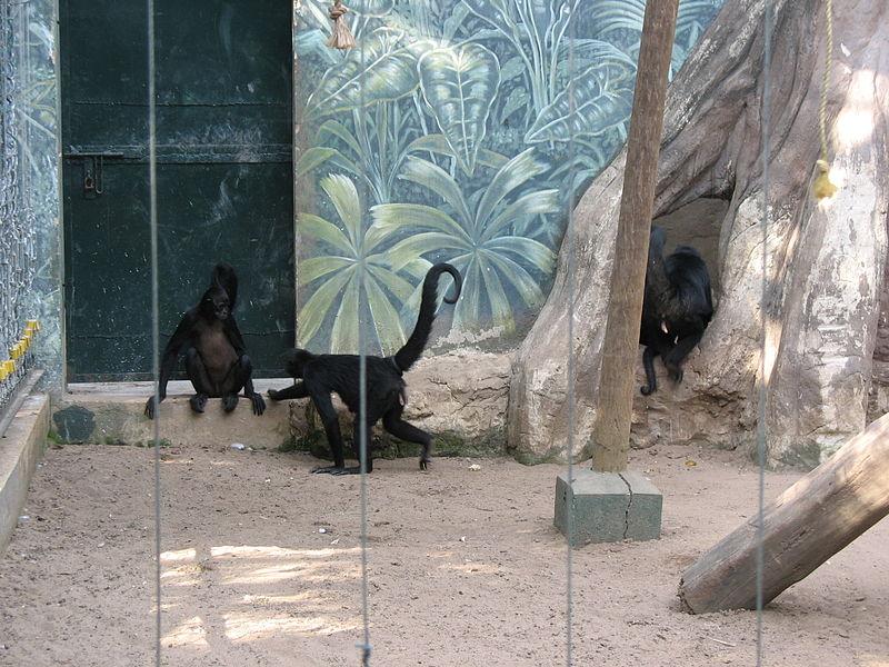 File:Barranquilla Zoológico Marimondas.jpg
