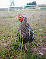 Barred Plymouth Rock Hen 003.jpg