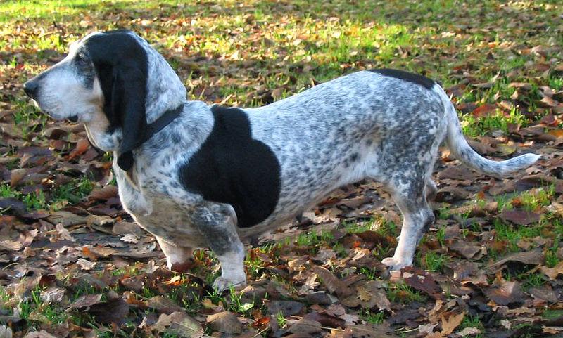 Basset Bleu de Gascogne Dogs