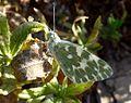Bath White. Pontia daplidice - Flickr - gailhampshire (1).jpg
