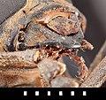 Batocera lineolata Chevrolat, 1852 (6839031678).jpg