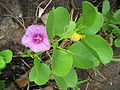 Beach Morning Glory - Ipomoea pes-caprae.jpg