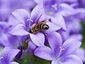 Bee on purple flower (14191117658).jpg