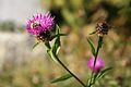 Bee on thistle 02.jpg