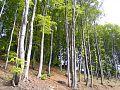 Beech-forest 92874-480x360 (4811107968).jpg