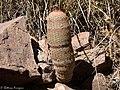 Beehive Cactus Leslie Canyon NWR Douglas AZ 2017-11-24 12-55-55 (38363643094).jpg