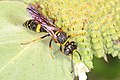 Beewolf - Philanthus gibbosus, Meadowood Farm SRMA, Mason Neck, Virginia (29778065027).jpg