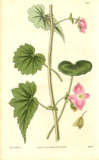 Robert Kaye Greville - Image: Begoniaceae Begonia gracilis