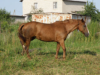 Byelorussian Harness Horse Breed of horse