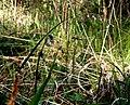 Bergslok, ett vackert gräs.jpg