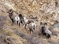 Bighorn Sheep. Ovis canadensis. males - Flickr - gailhampshire (1).jpg