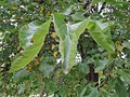 Biljne vrste u niškoj tvrđavi, Srbija, Niš (94).jpg