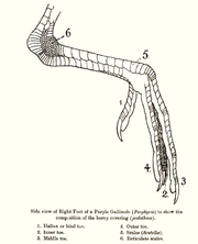 Scalation and structure of the leg