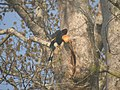 Bird Great Hornbill Buceros bicornis at nest DSCN9018 12.jpg