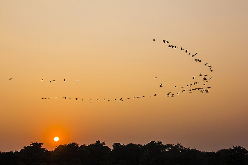 Birds flying to their home during the sunset - Chitwan National Park.jpg
